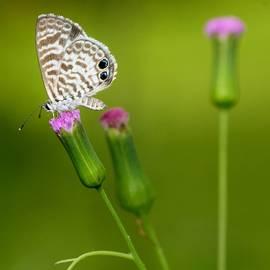 Cassius Blue Butterfly by April Wietrecki Green
