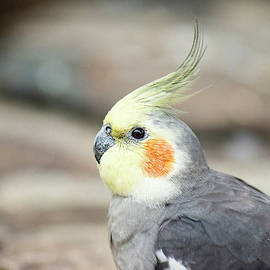 Close Up Of A Cockatiel by Rob D Imagery