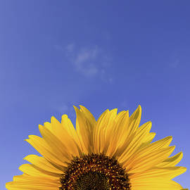 Close up of sunflower plant growing in the field over clear blue by Psycho Shadow