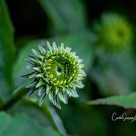 Cone Flower Bud by Connie Allen