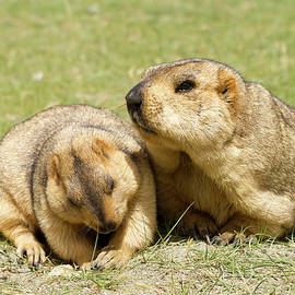 Couple of funny surprising marmots on the green grass by Oleg Ivanov