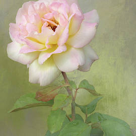 Delicate Pink Rose by Isabela and Skender Cocoli