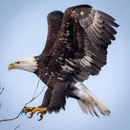 Eagle Coming In For A Landing by Ricky L Jones