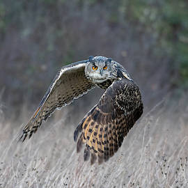 Eurasian Eagle Owl Flying by Mark Hunter