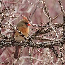Female Northern Cardinal by Davandra Cribbie