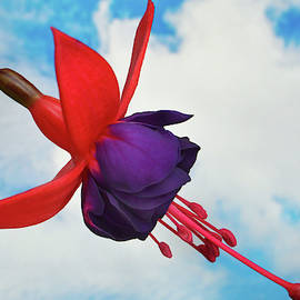Fuchsia In The Sky by Terence Davis