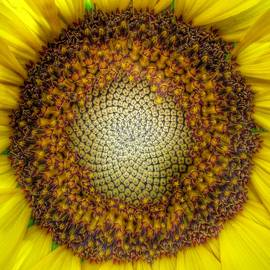 Ghost Sunflower by Marianna Mills