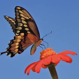 Giant Swallowtail on Zinnia by John Burk