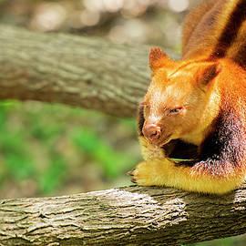 Goodfellows Tree Kangaroo by Rob D Imagery