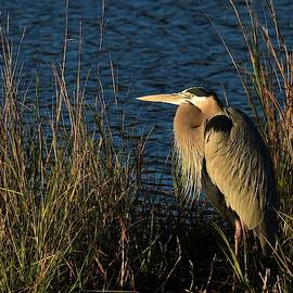 Great Blue Heron by Chip Gilbert