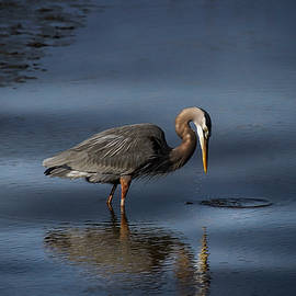 Great Blue Heron Fishing by TJ Baccari