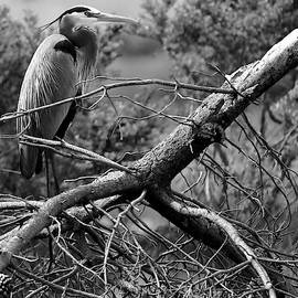 Great Blue Heron on a Fallen Pine Branch  BW by DUG Harpster