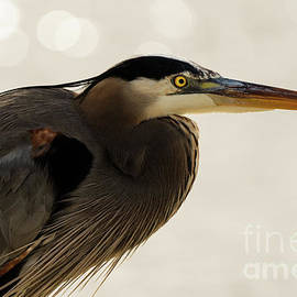 Sam Rino - Great Blue Heron Portrait