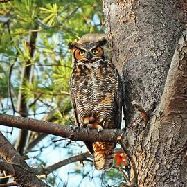 Great Horned Owl by Ken Stampfer