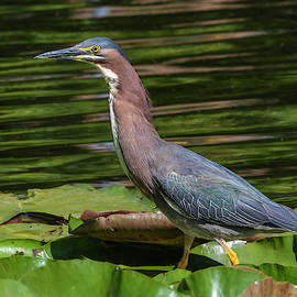 Green Heron on Lilypads by Bruce Frye