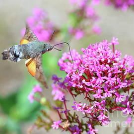 Hummingbird Hawk-moth on Valerian flower by Gregory DUBUS