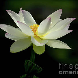 L is For Lotus by Sabrina L Ryan