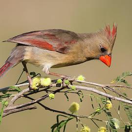 Lady Cardinal by David Cutts