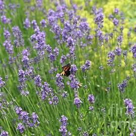 Lovely Lavender by Carol Groenen