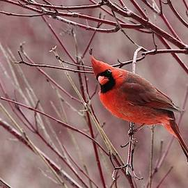 Male Northern Cardinal by Davandra Cribbie