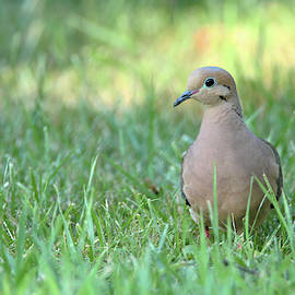 Mourning dove by David Stasiak