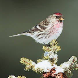 Mr C Redpoll by Gerry Sibell