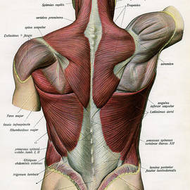 Muscles Of The Human Back