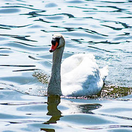William Rogers - Mute Swan