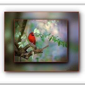 Northern Cardinal by Robert L Jackson