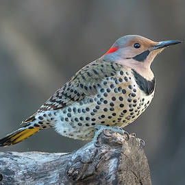 Kathy Stewart - Northern Flicker