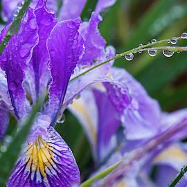 Oregon Iris In The Rain by Robert Potts