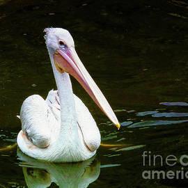 Pelican Art by Scott Cameron
