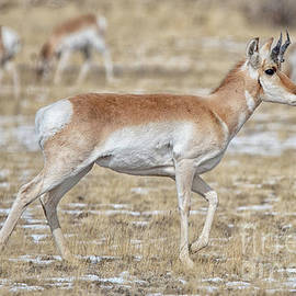 Pronghorn by Bitter Buffalo Photography