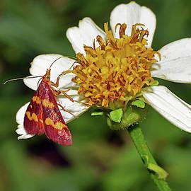 Pyrausta Tyralis Moth by Larah McElroy