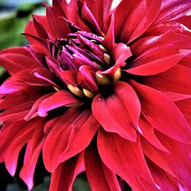 Red Dahlia by Bruce Bley