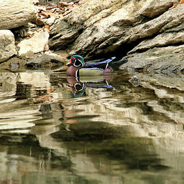 Reflections of a wood duck series I by Geraldine Scull