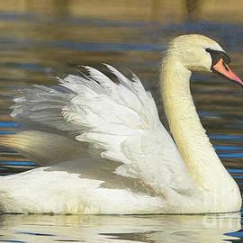 Royal Swan by Kathy Baccari