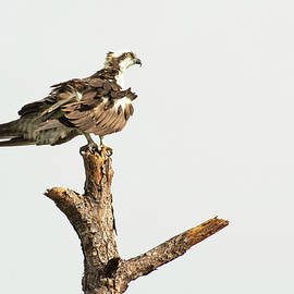 Ruffled Osprey by William Tasker