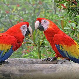 Scarlet Mackaw Couple