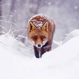 Roeselien Raimond - Snow Fox Series - The Fox on the Hill