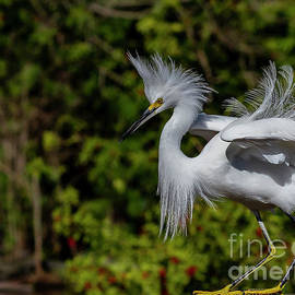 Blair Howell - Snowy Egret