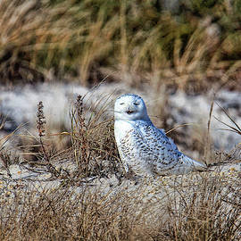 Geraldine Scull - Snowy Owl On Dune