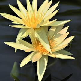 St. Louis Gold Waterliliy by Bruce Bley