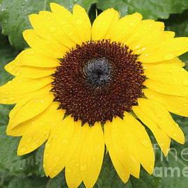 Sun Flower With Rain Dew Drops by Barbra Telfer