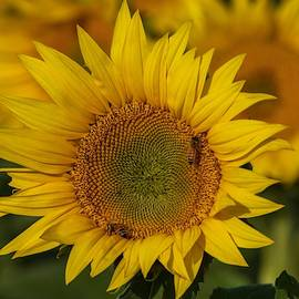 Sunflowers and Bees by Lynn Hopwood