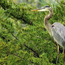 The Great Blue Heron  by Lori Frisch