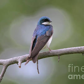 Tree Swallow by Gary Wing