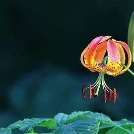 Turkish Cap Lily  by Carol Montoya
