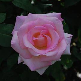 Ultimate Pink by Lawrence Pratt