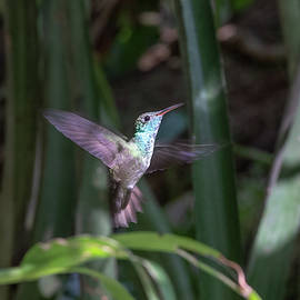 Versicolored Emerald Hummingbird Hovers by Mark Hunter